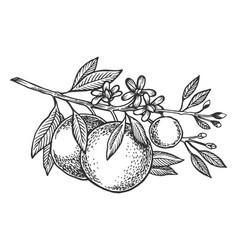 Orange tree branch engraving vector