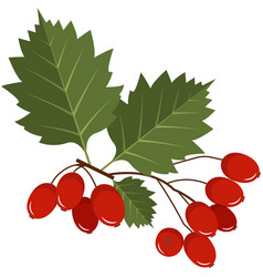 Red hawthorn berries on stem with leaves flat vector