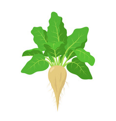 Sugar beet plant with roots vector