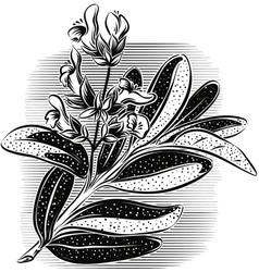 Branch of flowering sage vector