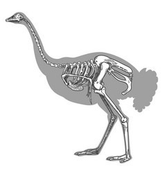 Engraving of ostrich skeleton vector