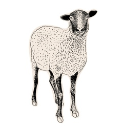 Hand drawn sheep vector