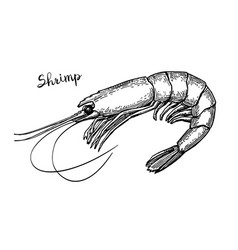 Shrimp ink sketch vector