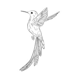 hand-drawn colibri humming bird sketch on white vector image