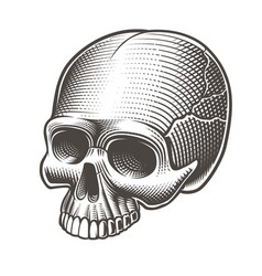 skull without the lower jaw vector image