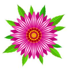 echinacea purpurea flower vector image