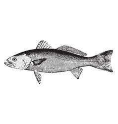 Weakfish vintage vector