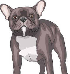 French bulldog v vector image