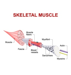 skeletal muscle vector image