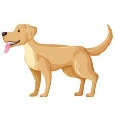 Yellow labrador retriever in standing pose vector