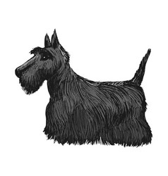Scottish terrier side view vector