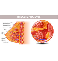Highly detailed view of healthy female breast vector