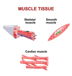 Muscle tissue vector