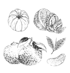 Vintage Ink hand drawn collection of citrus fruits vector