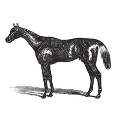 Thoroughbred vintage engraving vector