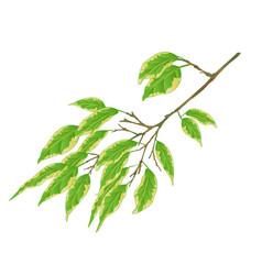 Tropical plant branh ficus benjamina variegated vector