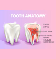 Tooth anatomy infographics realistic 3d vector