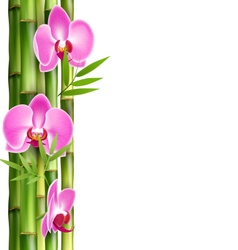 Orchid pink flowers with bamboo isolated on white vector