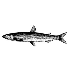 old engraving of a european smelt fish or osmerus vector image vector image