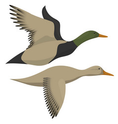 Drake and duck flying vector