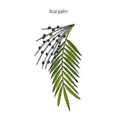 Acai palm euterpe oleracea vector