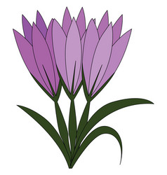 violet crocus flowers with green leaves on white vector image