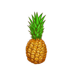 Exotic pineapple isolate ananas whole fruit sketch vector
