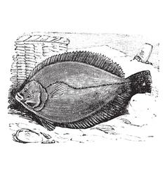 Flounder vintage engraving vector