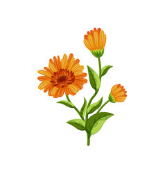 Calendula flowers vector