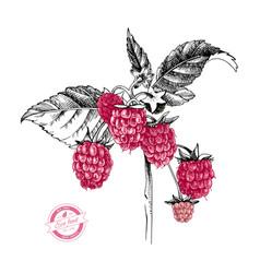 hand drawn raspberry branch vector image