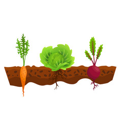 Vegetables growing in ground one line cabbage vector