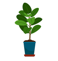 ficus house plant in flower pot vector image