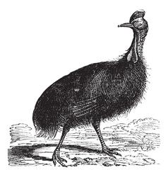 Casuarius galeatus vintage engraving vector image
