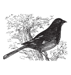 Eastern Towhee vintage engraving vector image