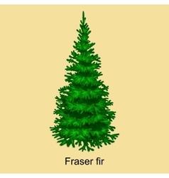 Christmas tree like fraser fir for New year vector image
