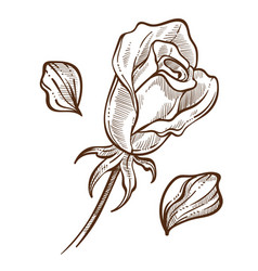 Flower rose bud and petals isolated sketch botany vector