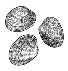 Edible clam drawing engraving ink vector