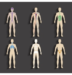 Human organs and body systems vector image