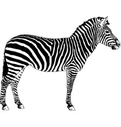 zebra drawn with ink and hand-colored pop art vector image