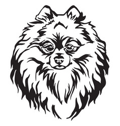 Decorative portrait of dog pomeranian spitz vector