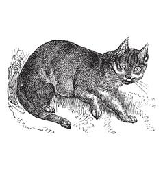 Wildcat vintage engraving vector image vector image