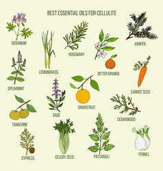 best essential oils for cellulite vector image