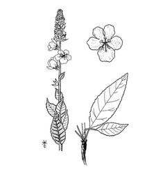 verbascum ovalifolium vector image vector image