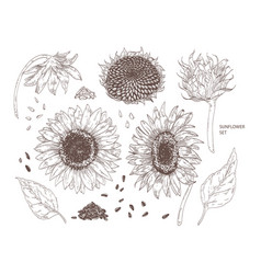 Bundle elegant botanical drawings sunflower vector