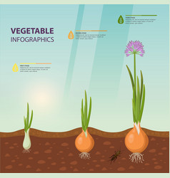 Infochart poster with onion growth stages vector
