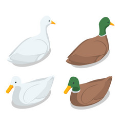 isometric a duck and a drake vector image