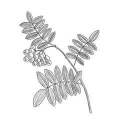 drawing branch rowan tree with leaves vector image