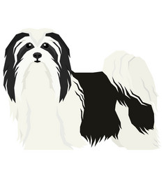 Havanese dog isolated object vector