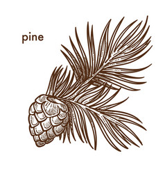 Pine tree branch with needles and cons monochrome vector