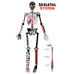 Skeletal system poster didactic board of anatomy vector